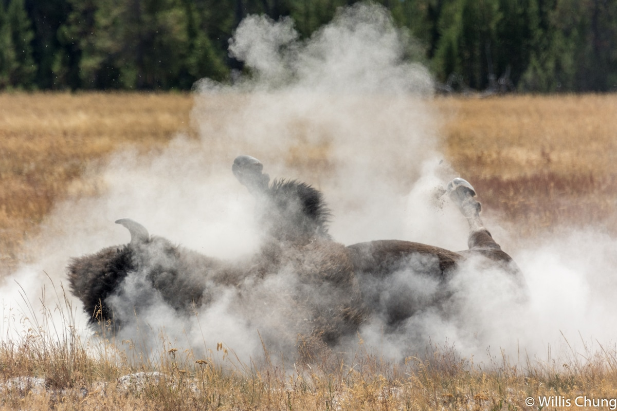 Bison Wallowing by Willis Chung
