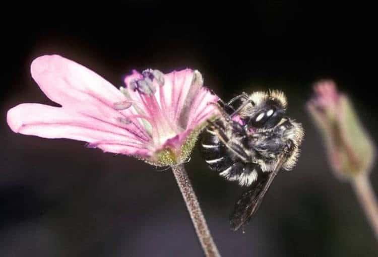 Osmia Avosetta Bees Nest Flower Petals