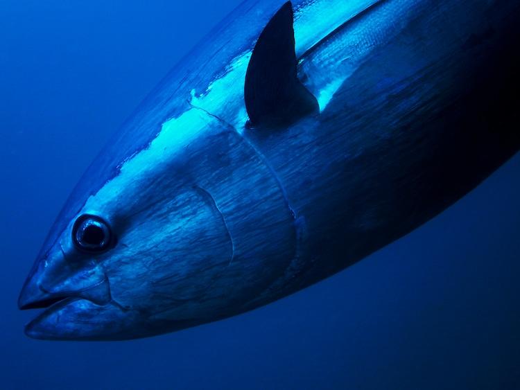 Close up view of Bluefin Tuna Underwater