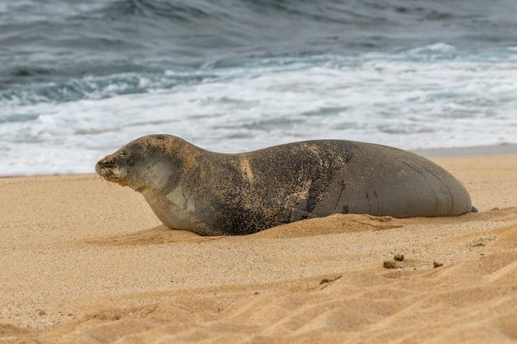 Endangered Marine Animals Hawaiian Monk Seal