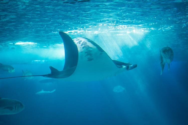 Endangered Species Giant Devil Ray