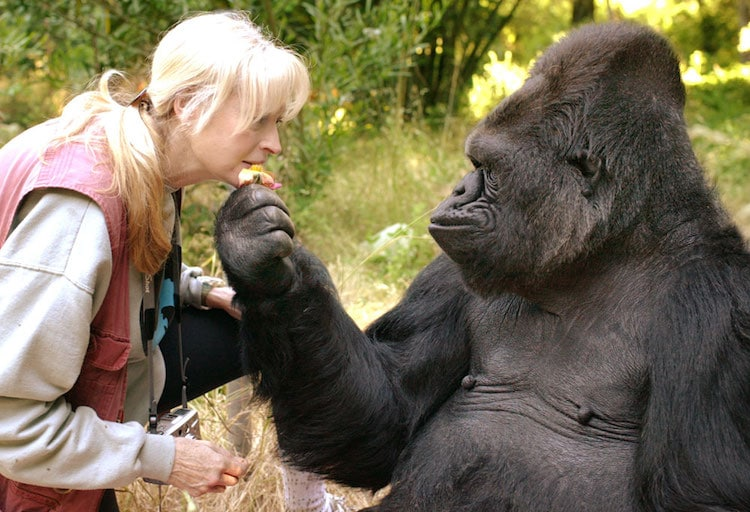 Koko, the Gorilla Who Learned Sign Langauge, Has Passed Away