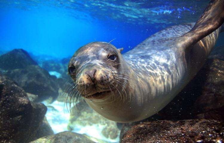 Galapagos Sea Lion Swimming Under Water