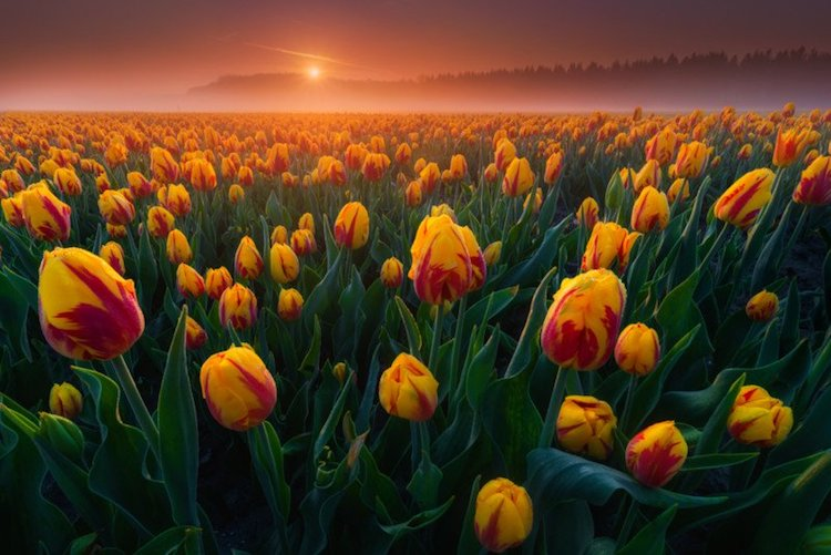 Photo of a Tulip Field by Albert Dros