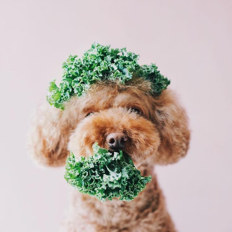 Cookie the Red Poodle, a Cute Dog Instagram