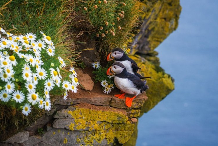 Puffins in Iceland by Albert Dros