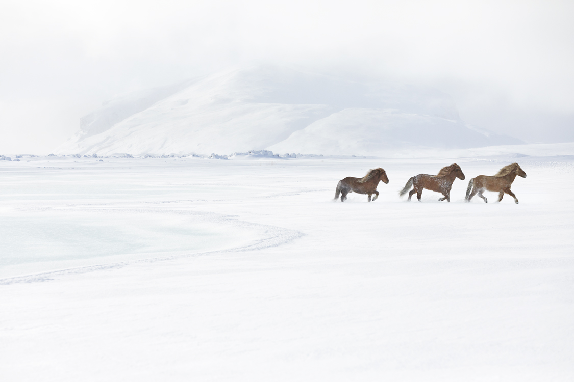 Icelandic Horses Photos by Drew Doggett