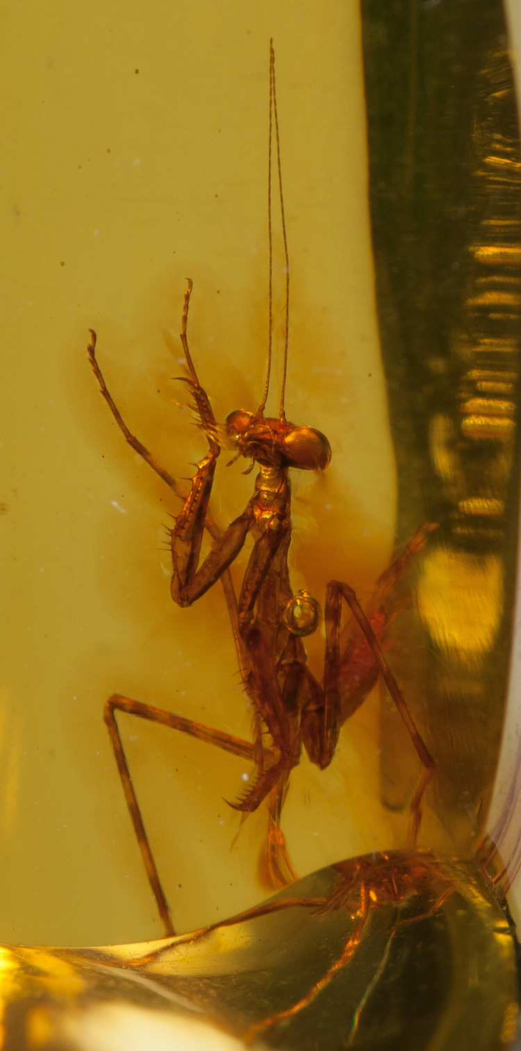 Praying Mantis Trapped in Amber