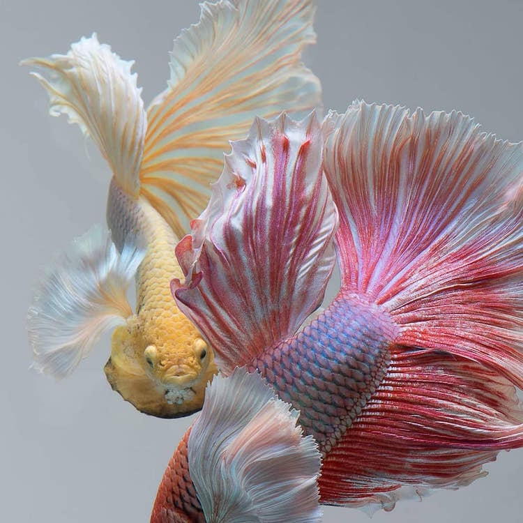 Siamese Fighting Fish Portraits by Visarute Angkatavanich