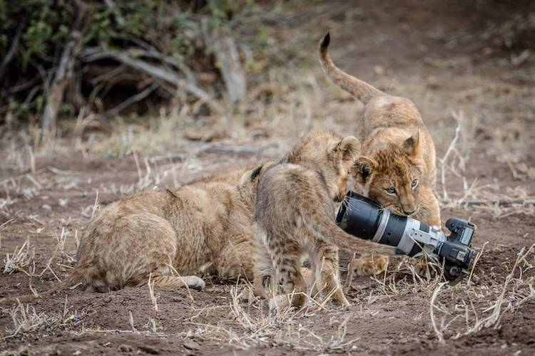 Image result for Lioness Steals a Photographer's Camera, Gives It to Her Cubs as a New Toy