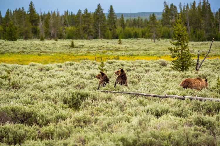 Judge Protects Yellowstone Grizzly Bears Delisted