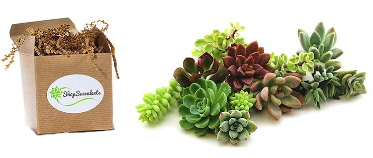 Succulents Succulent Gifts Succulent Clippings