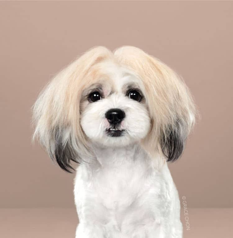 Dog Haircut Portraits by Grace Chon