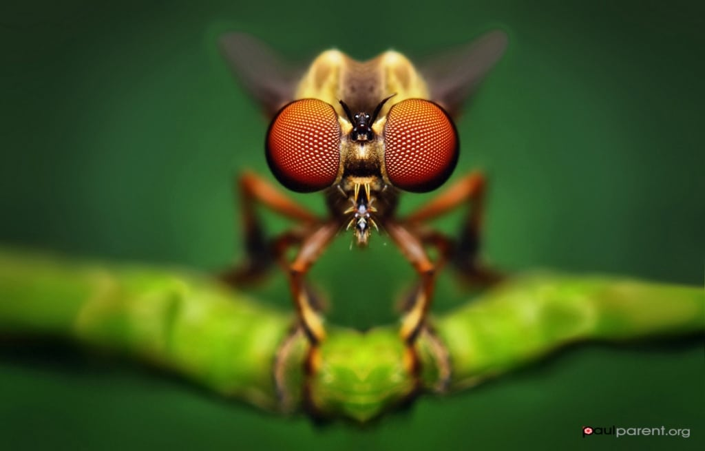 Fotos macro de insectos por Paul Parent
