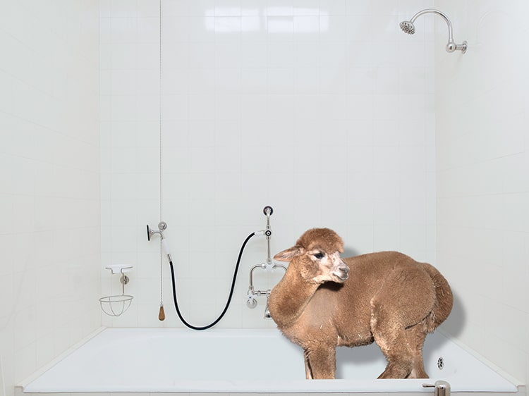 Funny Alpaca Photos in a 2019 Calendar by Daniel Gebhart de Koekkoek