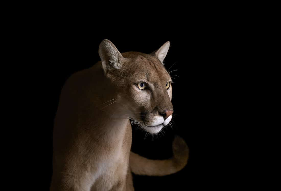 Brad Wilson Affinity Wildlife Portraits Animal Portraits