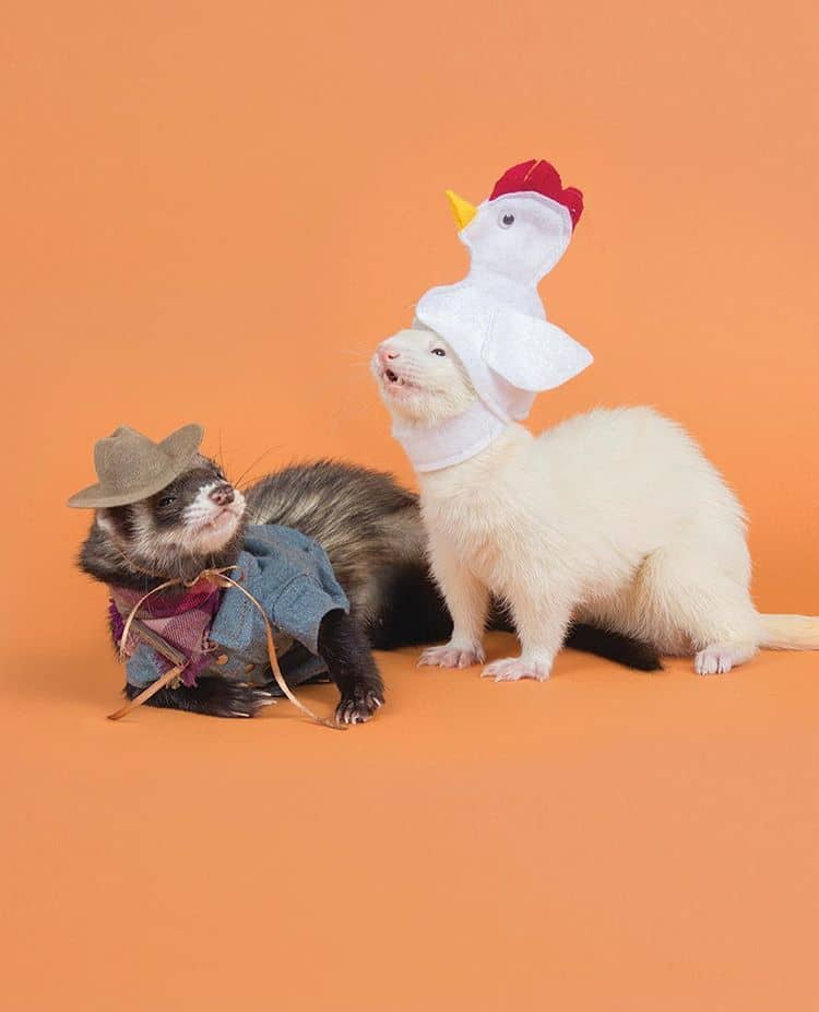 adorable ferrets pose in costumes for a giant 2019 yearly