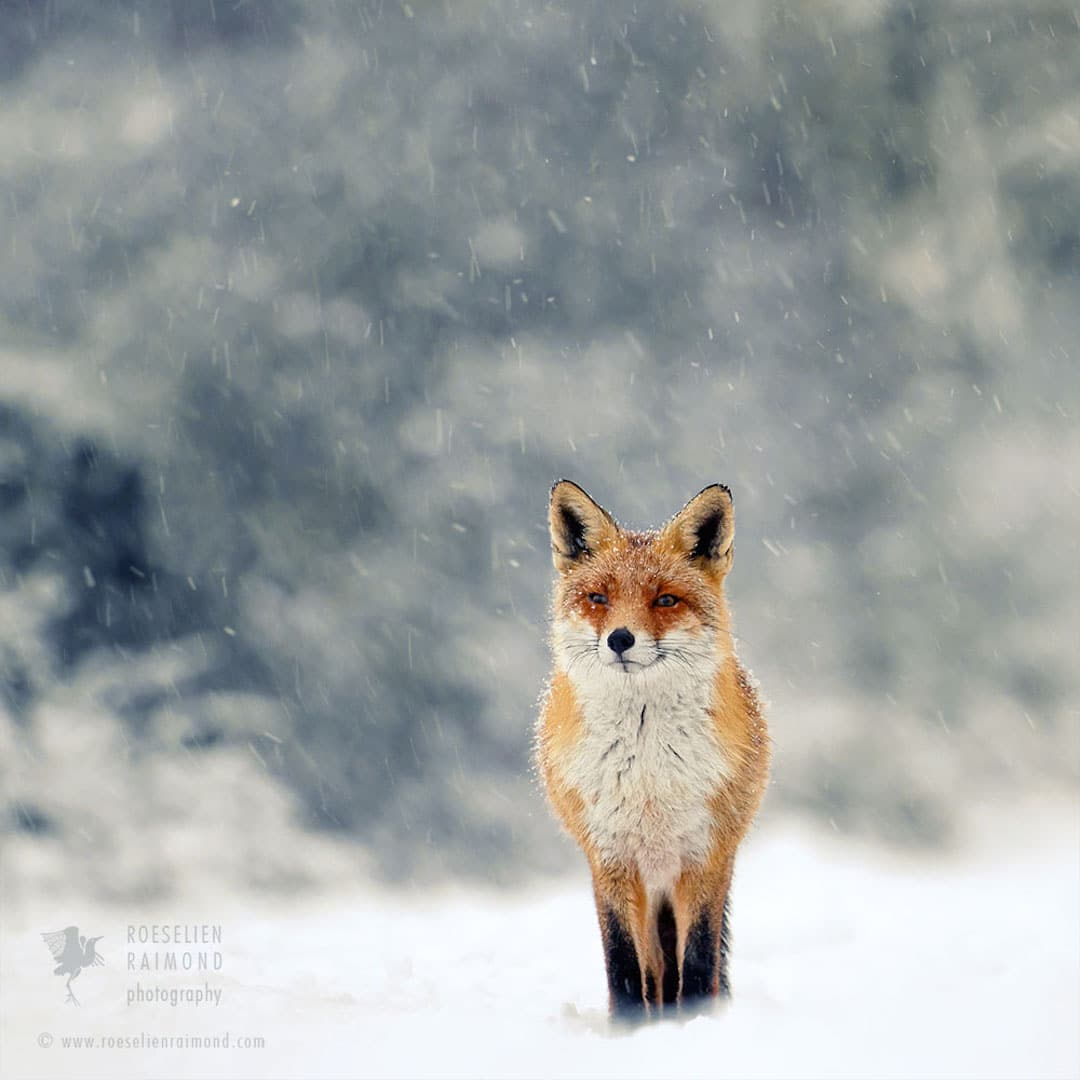 Red Foxes in Snow Photos by Roeselien Raimond