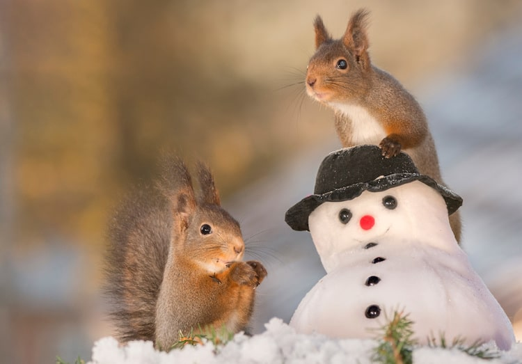Red Squirrel Photos by Geert Weggen