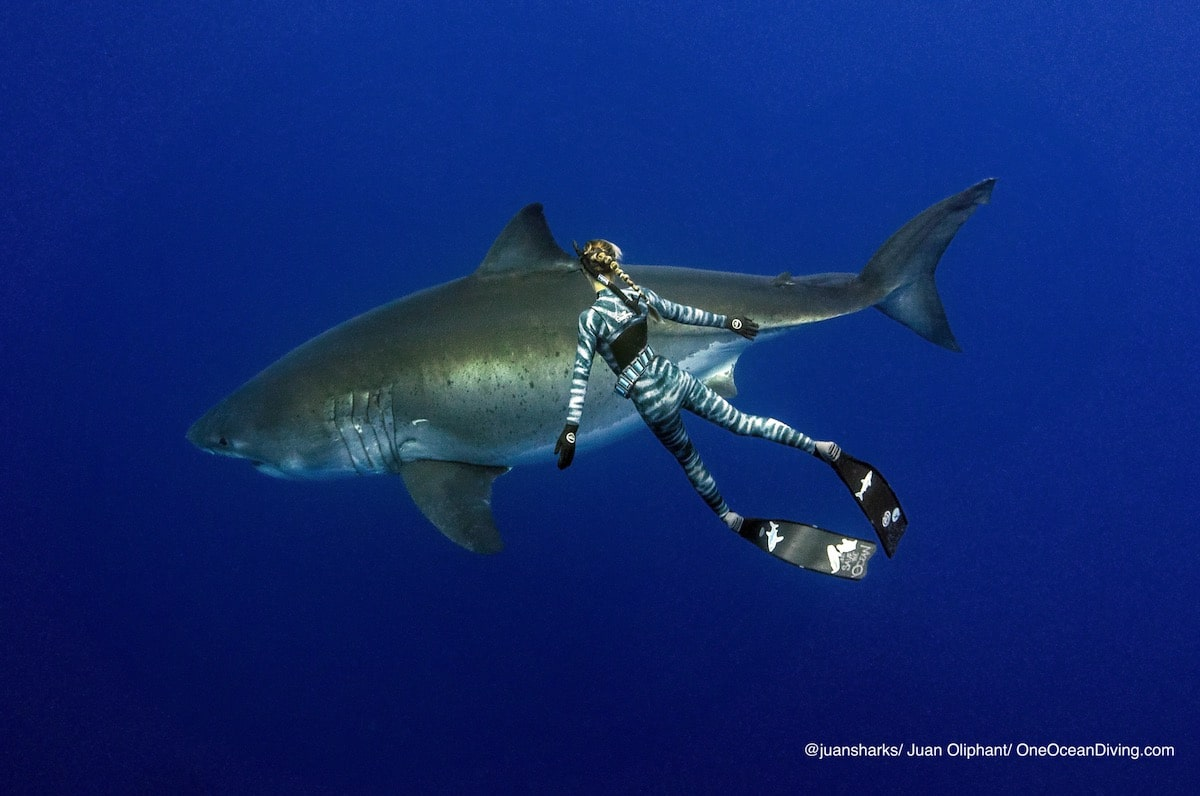 Ocean Ramsey Swims With Enormous Great White Shark in Hawaii