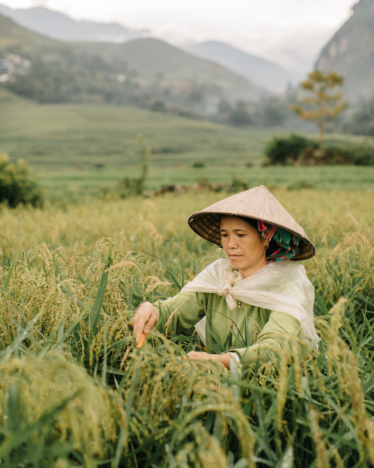 Harvesting sticky rice near Tu Le town in Vietnam