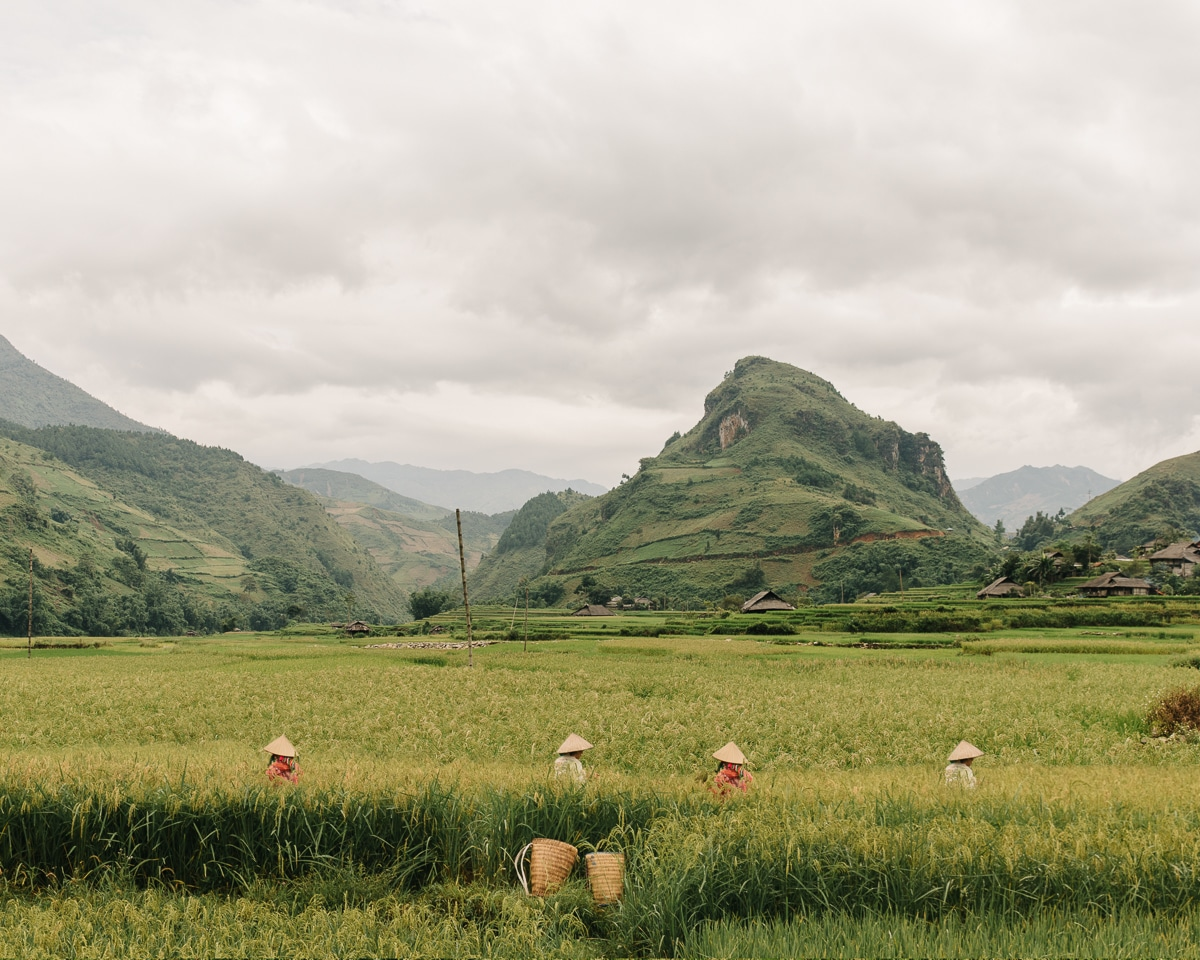 Photo of Harvesting Rice in Vietnam