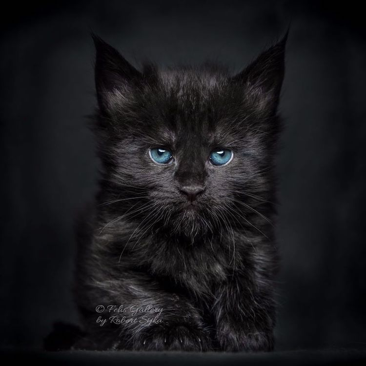 30 Majestic Pictures of Maine Coon Cats by Robert Sijka