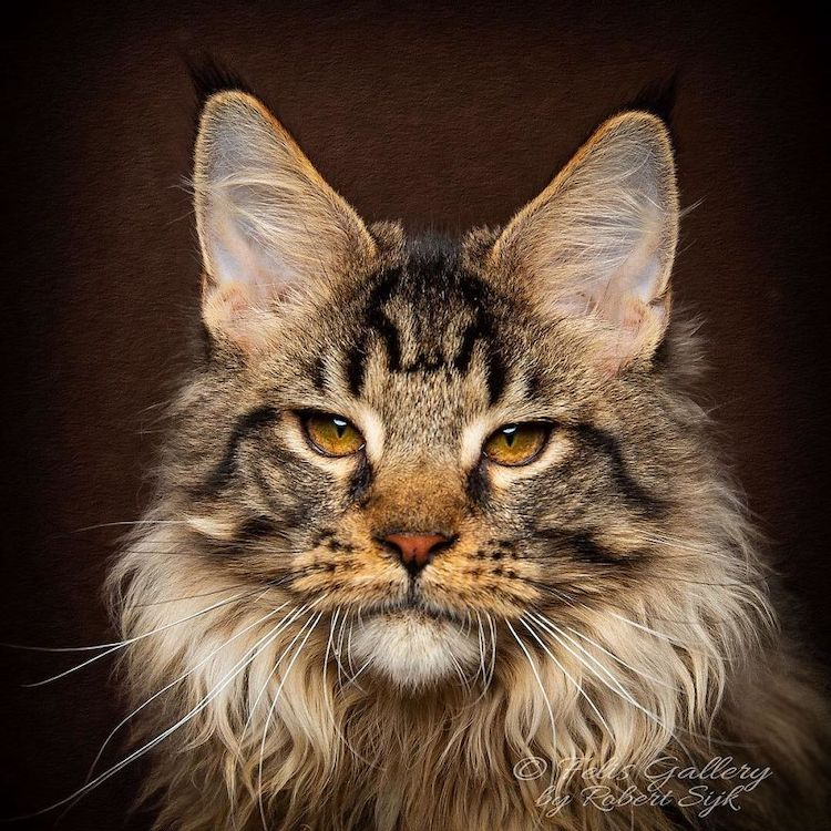 Beautiful Maine Coon Photos by Robert Sijka
