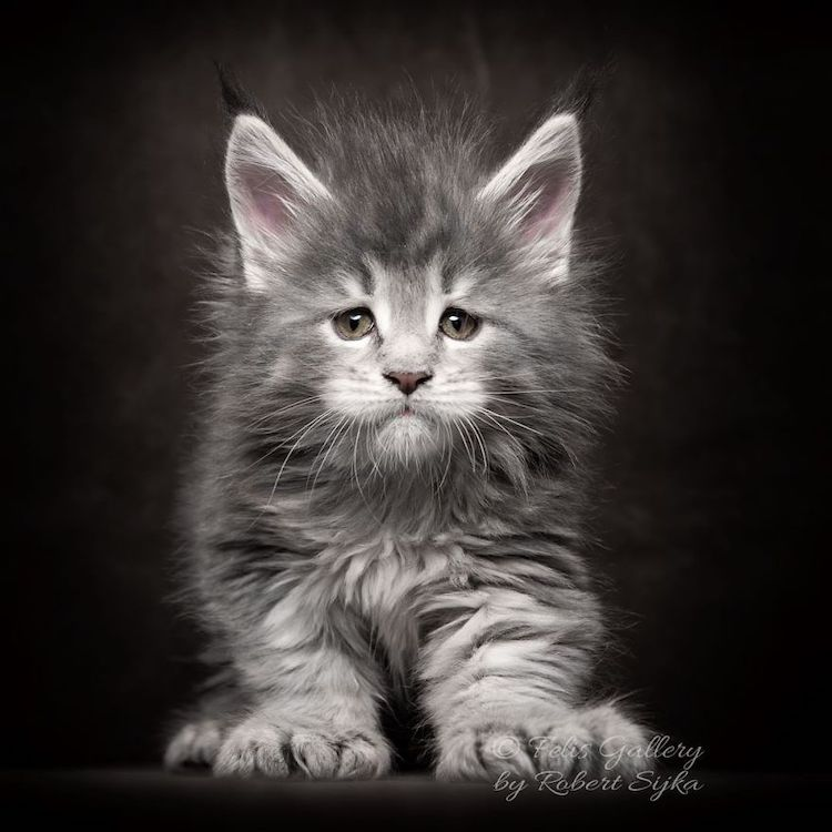 Pictures of Maine Coon Cats by Robert Sijka
