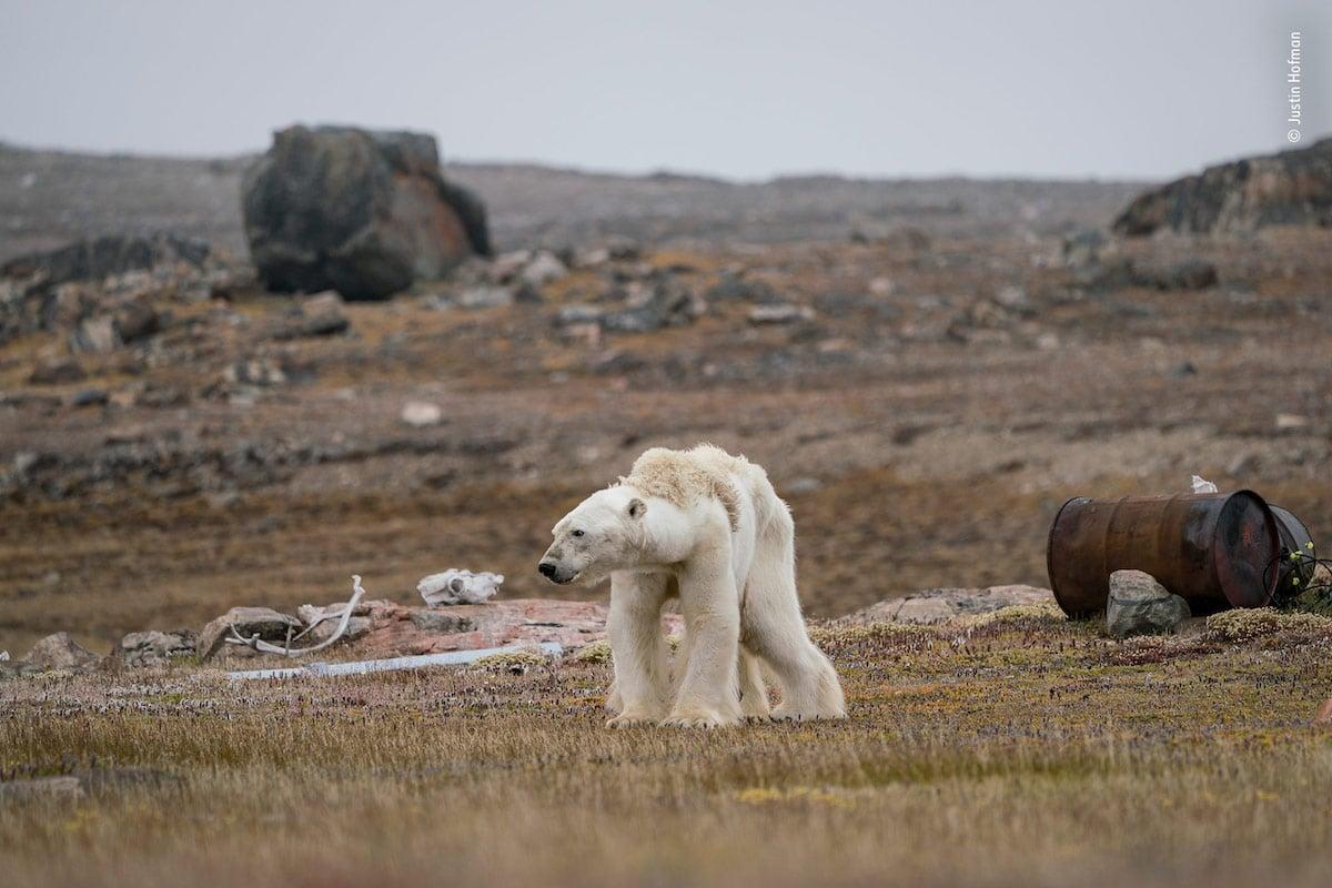 Oso Polar muriendo de hambre por Justin Hofman