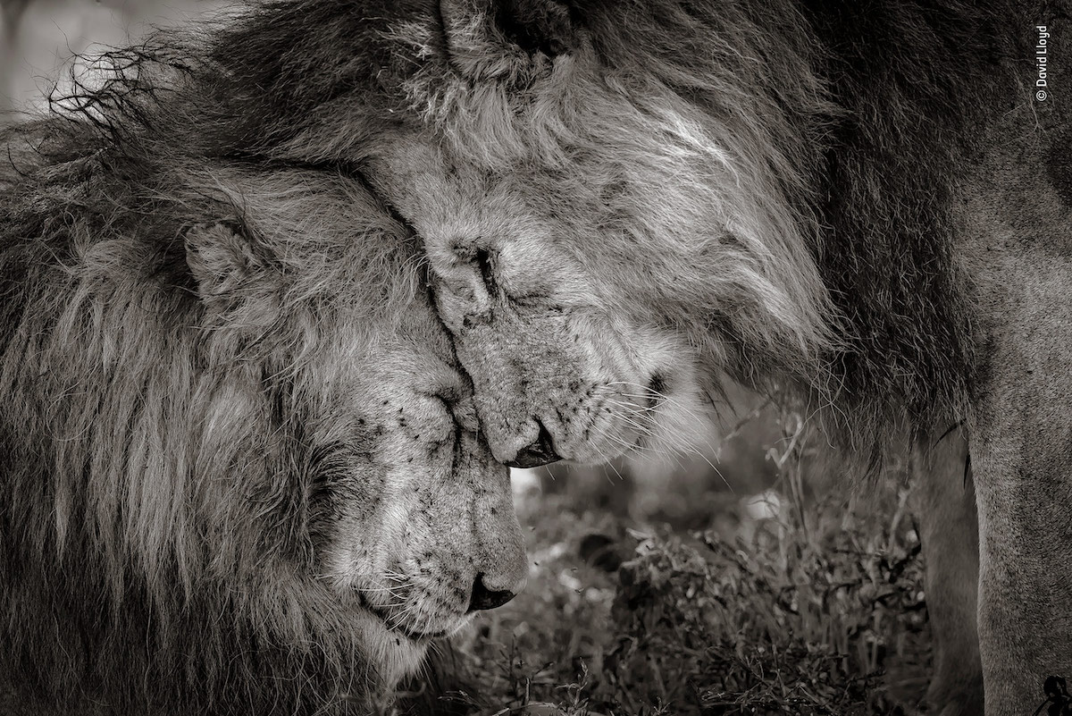 Touching moment between two lions wins wildlife photographer of the year peoples choice award