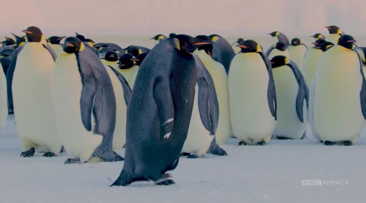 Rare Black Emperor Penguin