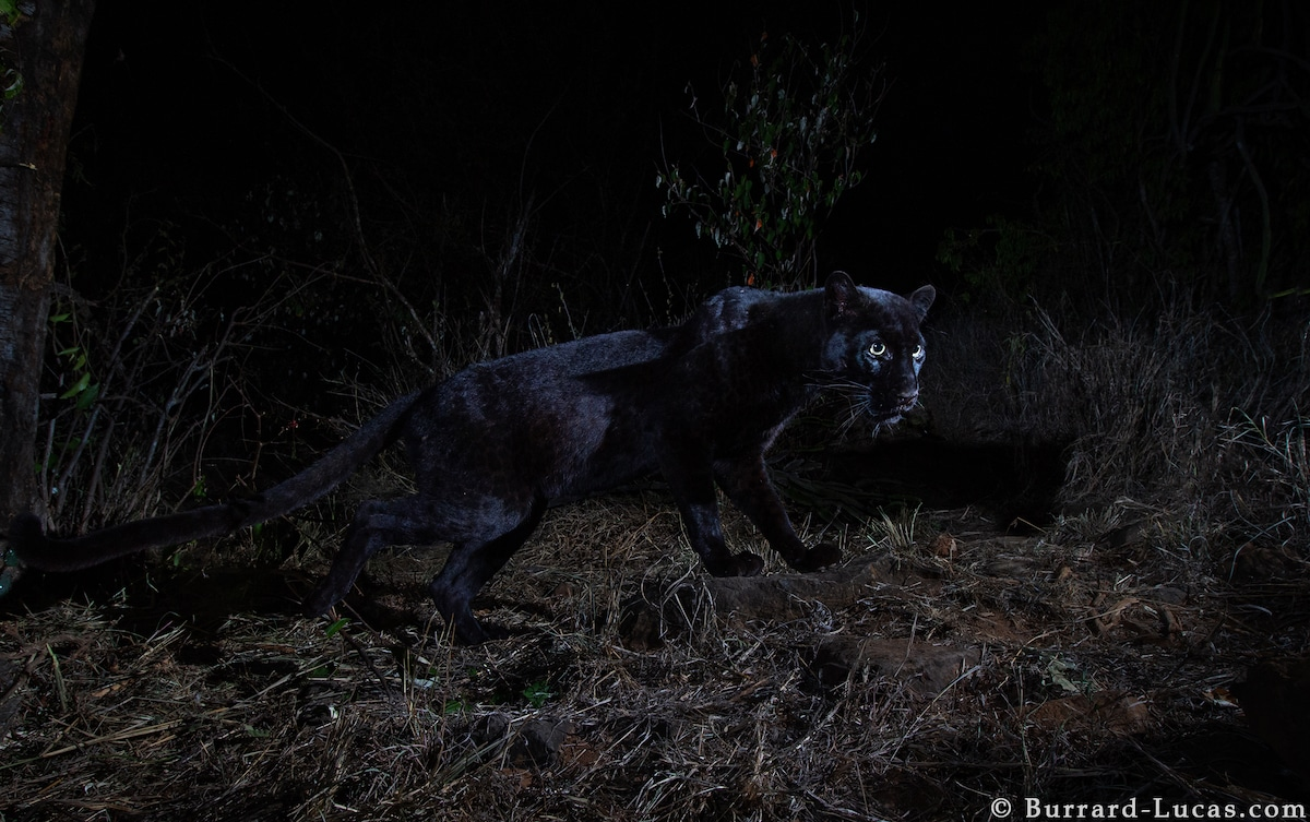 Black Leopard in Kenya
