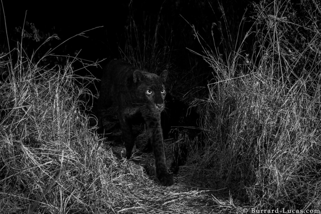 Black Leopard at the Laikipia Wilderness Camp, Kenya