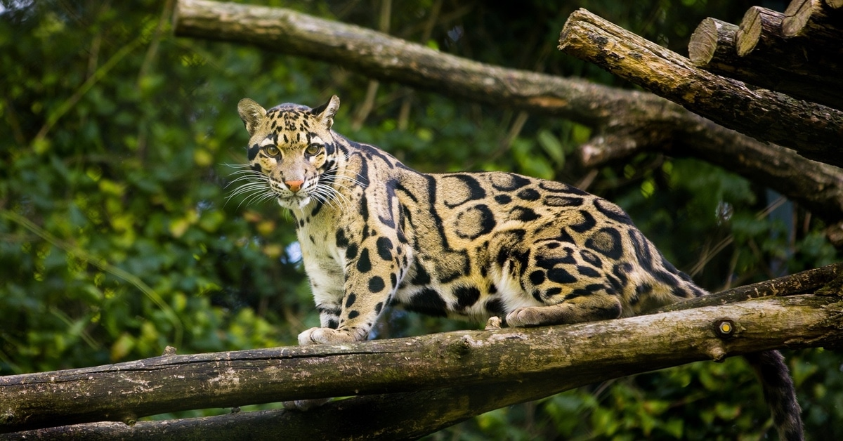 Leopard Species Thought To Be Extinct Spotted In Taiwan