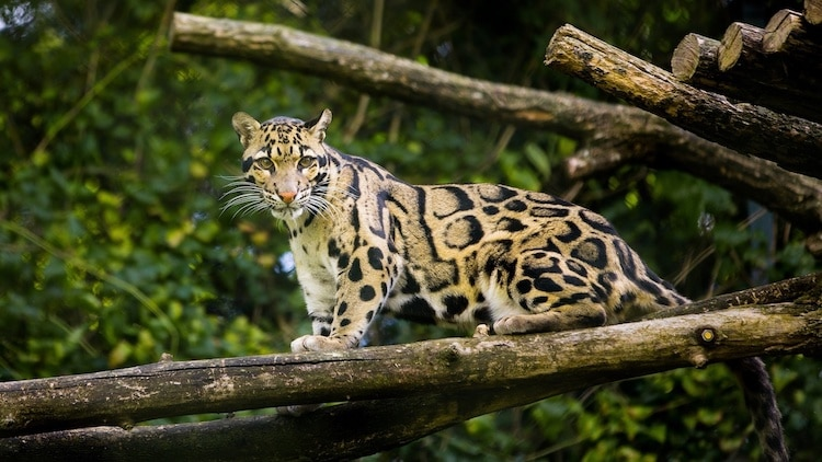 Extinct Clouded Leopard Sighting