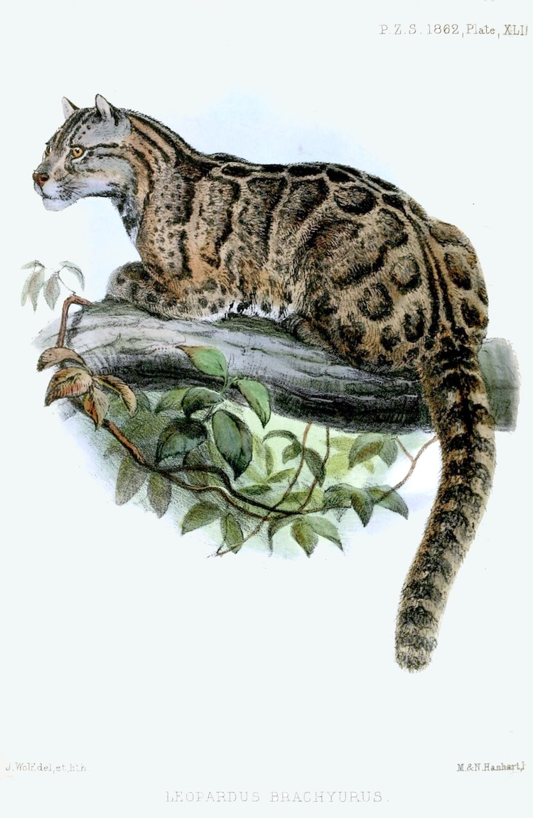 Formosan clouded leopard