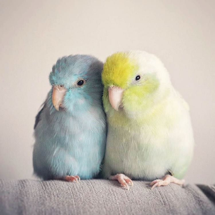 Pacific Parrotlets Bird Photography by Rupa Sutton