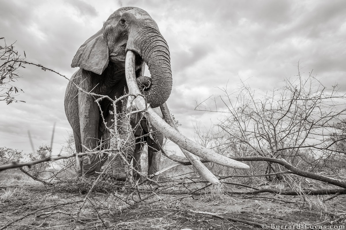 Photos of Elephants in Kenya