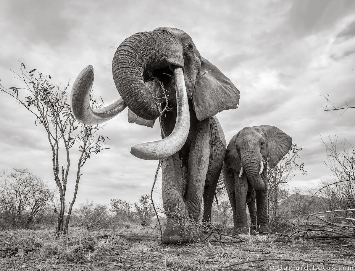 Photo of Elephants with Trunk Up