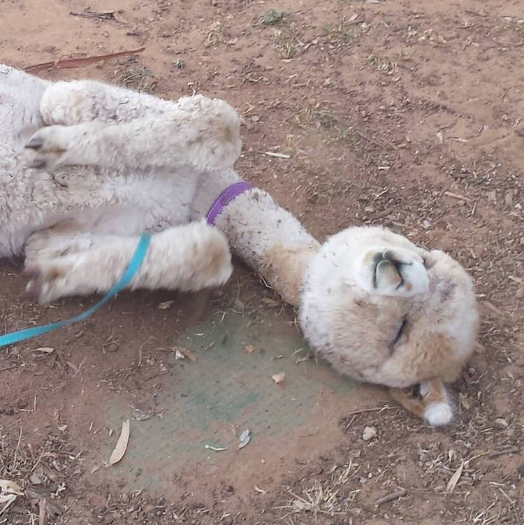 Alfie the Alpaca in Adelaide Pet Alpaca Instagram