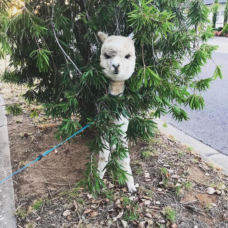 Alfie the Alpaca in Adelaide Pet Alpaca Instagram