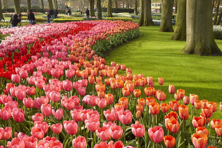 Dutch Tulips in Bloom
