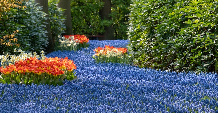River of Blue Flowers at the Keukenhof