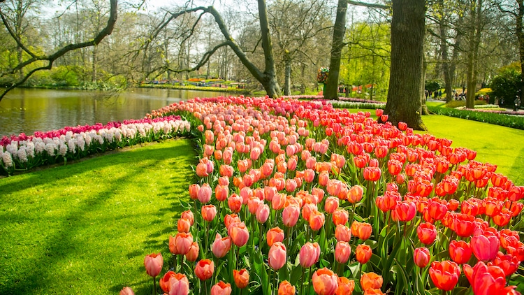Tulip Garden in The Netherlands