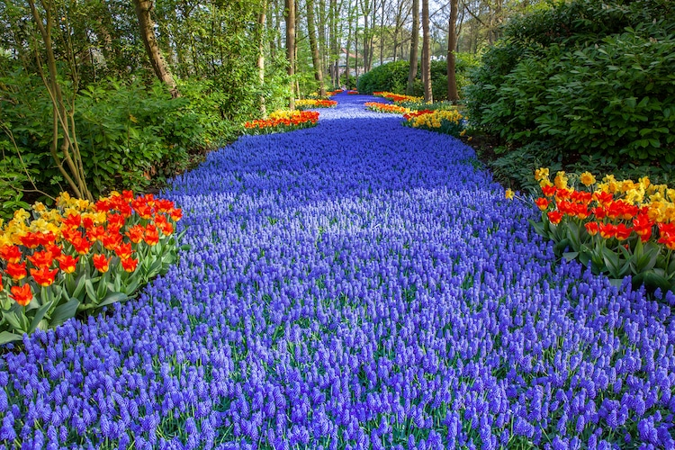Holland's Largest Flowers Garden Bursts with 7 Million Colorful ...