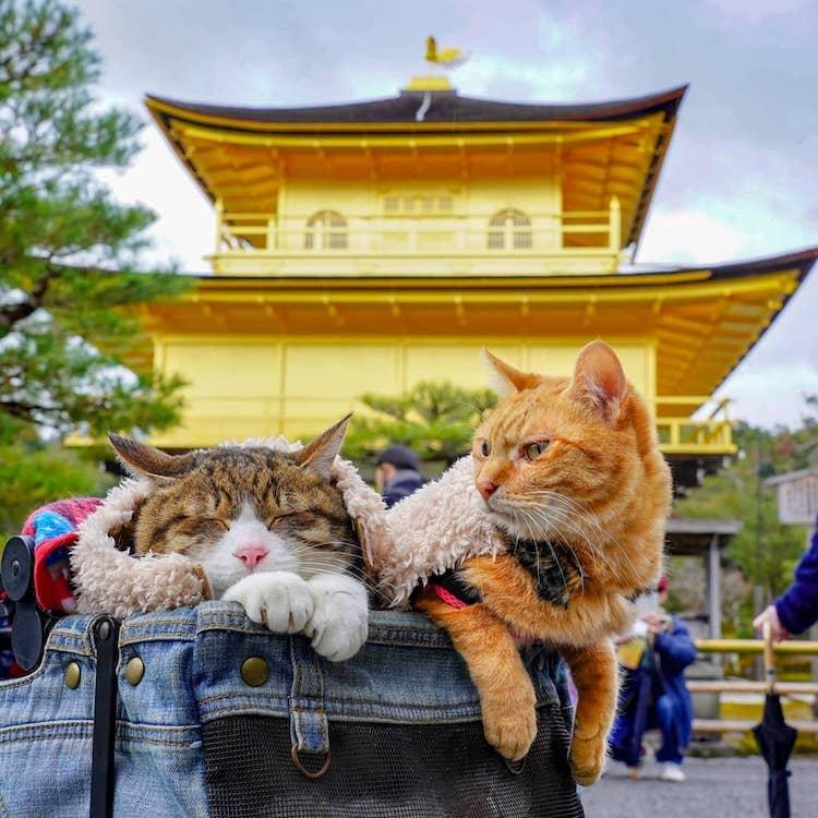 Gatos de viaje en Japón