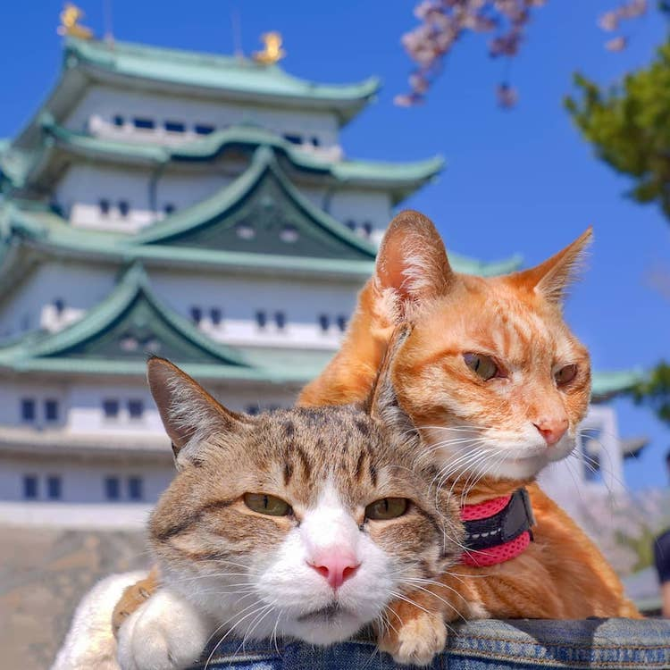 Gatos viajeros en Japón