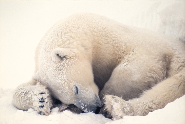 Polar Bear Curled Up Sleeping