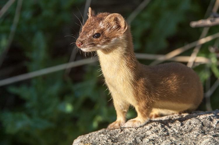 Wildlife Mustelids Weasels